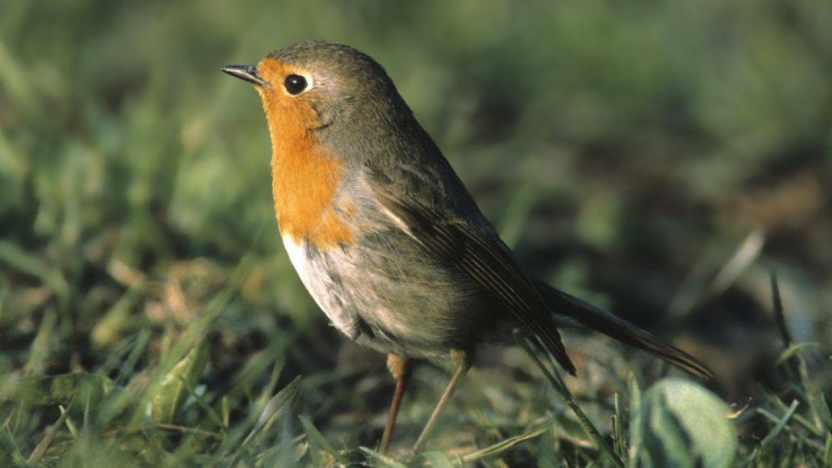 Warum Singen Vögel Morgens